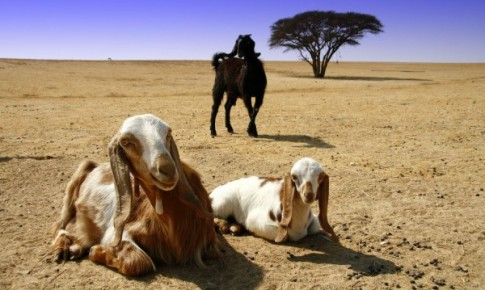 Goats_in_Southern_Israel-600x359